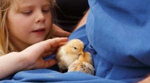 bambino e animali bimba con pulcini