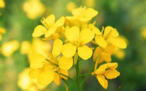 mimulus-fiori-di-bach-bambini
